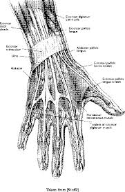 of the fingers in the human why is the ring finger the most