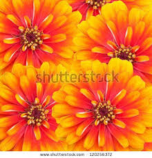 Zinnia Flowers The 25 Best Zinnia Flower Pictures Ideas On Pinterest Dahlia