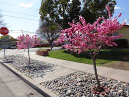 parking strip landscaping flowering trees and rocks park strips