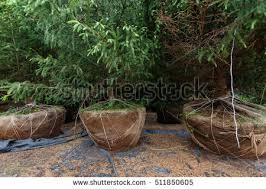 tree seedling stock images royalty free images vectors