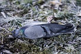 dead pigeon pictures images stock photos istock