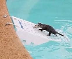 pool safety for wild animals the humane society of the united states