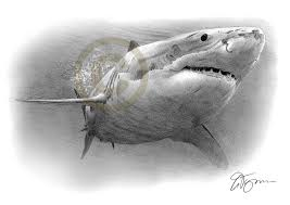 great white shark pencil drawing print a4 size artwork