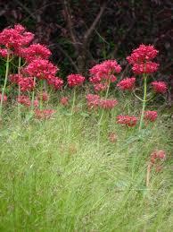 Very Fragrant Plants Centranthus Ruber U0027coccineus U0027 Red Valerian H18 30