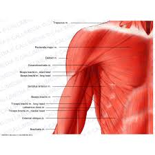 Shoulder And Arm Muscles Anatomy Shoulder Arm Anterior View Superficial Muscles