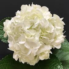 white hydrangea white hydrangea festive flower