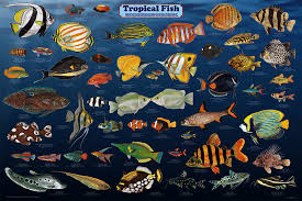 tropical fish poster by feenixx publishing