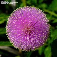 Flowers Near Me - plantfiles pictures sunshine mimosa powderpuff sensitive plant