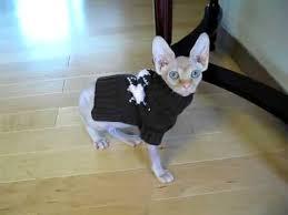 sphynx sweaters tika the hairless sphynx cat stumbling around in sweater