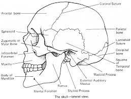Human Anatomy Skull Bones Skull Bones Anatomy Quiz Skull Bones Anatomy Quiz Human Anatomy