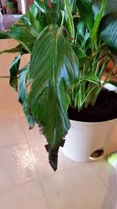 peace lily indoors why is my peace lily dying gardening u0026 landscaping