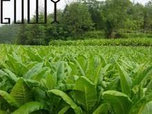 tobacco plants reviews shopping tobacco plants reviews on