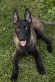 belgian sheepdog diet belgian malinois apparently the gene that causes the black mask