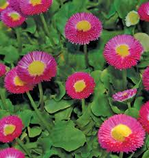 how to grow bellis perennis english daisy
