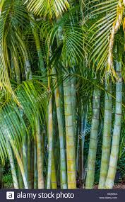 dypsis lutescens golden cane palm areca palm or butterfly palm