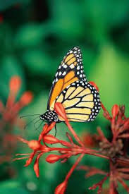 what of butterfly comes out of a green cocoon animals me