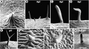 transparent testa glabra2 a trichome and seed coat development