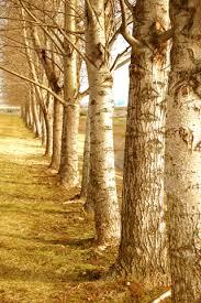 diaprevatlum birch tree wallpaper