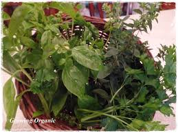 Starting An Organic Vegetable Garden by Growing Organic A Culinary Herb Garden Part 1 Spring Herbs Gown