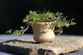 pot bonsai design the art of bonsai project feature gallery four seasons with the