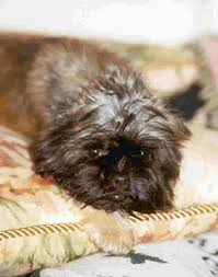 affenpinscher pics affenpinscher dog breed pictures 1