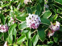 Fragrant Olive Plant Blooming Shrub Selection U2013 Brightwater Landscaping