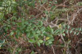 native plants of georgia invasive plants in georgia u2013 list walter reeves the georgia