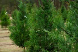 Pacific Northwest Christmas Tree Association - christmas tree farms in western washington by county
