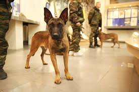 belgian shepherd special forces canine