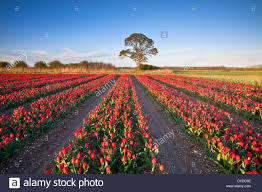 tulip fields at narborough near swaffham in the norfolk