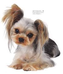 haircuts for yorkie dogs females yt style 12 yorkie haircuts roommate and hair cuts