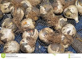 bulbs of ornamental plants stock image image of shaped 59294411
