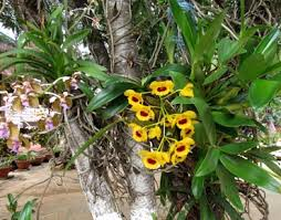 orchids care dendrobium orchid care orchids care info