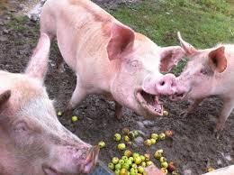 art to help save pigs toronto pig save