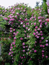 Fragrant Climbing Plant - the 25 best thornless roses ideas on pinterest climbers for