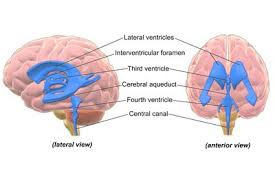 What Portion Of The Brain Controls Respiration Anatomy Of The Brain Structures And Their Function