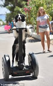 bearded collie montreal croatian border collie has learnt 180 tricks including how to ride
