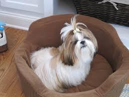 Petsmart Dog Bed Winnie The Tzu Little Miss In Her Martha Stewart Snuggler Dog Bed