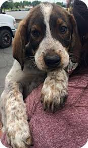 bluetick coonhound mix puppies i found duncan on student centered resources if and how to get