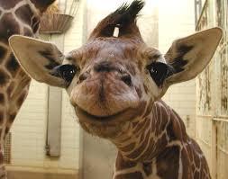 save the giraffes album on imgur