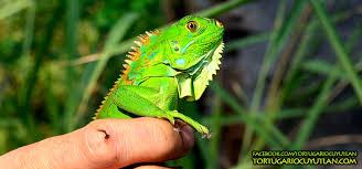 imágenes de iguanas verdes iguana verde tortugario de cuyutlán