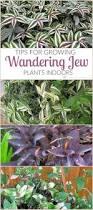 best 25 wandering jew ideas on pinterest outdoor flower