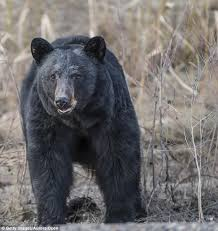 Ozzy The Grizzly Bear Picks The Eagles To Win The Super Bowl Local - alaskan teen runner is mauled to death by a bear daily mail online