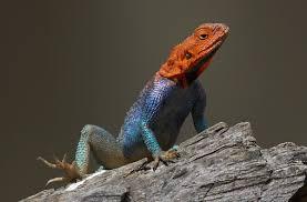 lizard san diego zoo animals u0026 plants