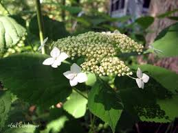 native plants for clay soil clay and limestone wildflower wednesday a fine native hydrangea