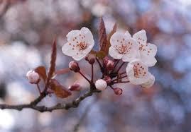 cherry blossom tree the last sakura blossoms