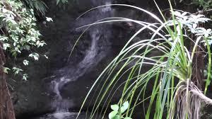 native plants nz new zealand native plant kiekie ureure youtube