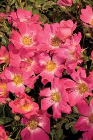 drift roses new garden roses the drift series gardening