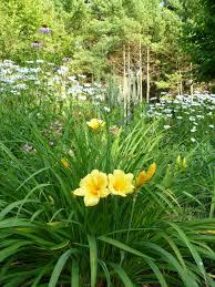 perennials how to deadhead a daylily