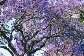 what types of trees purple flowers home guides sf gate